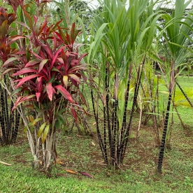 Kauai Plantation Sugar Canes